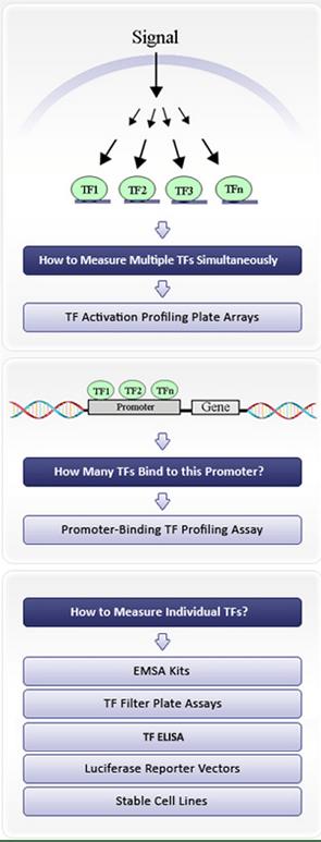 Transcription Factor Assays