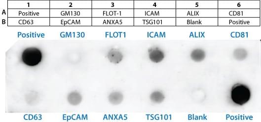 Exosome Antibodies, Arrays and ELISA Kits Detect and quantitate isolated exosomes
