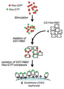 GTPases, pull-down assays and antibodies