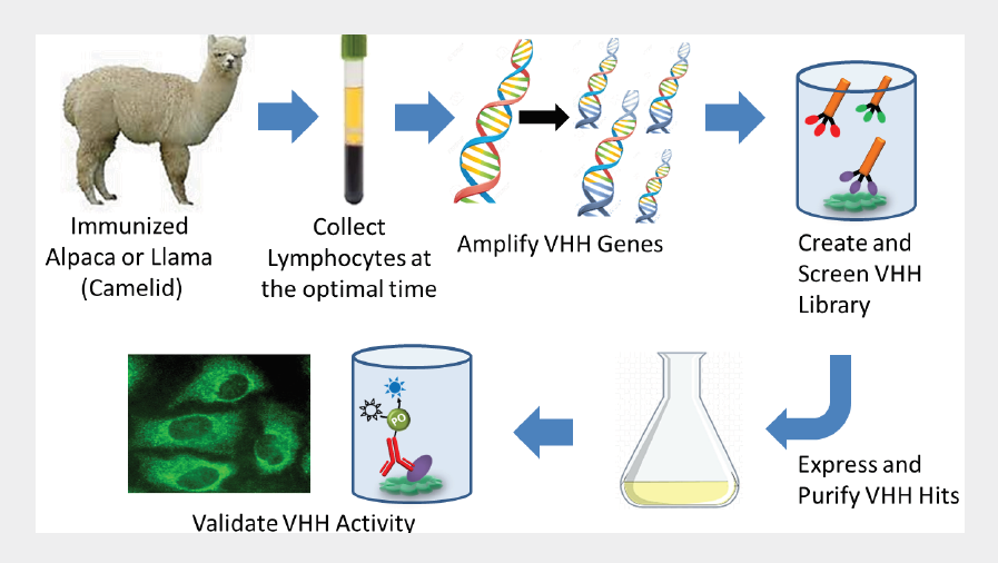 Secondary Antibodies For VHH Discovery