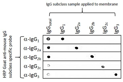 Mouse Subclass Specific Secondary Antibodies